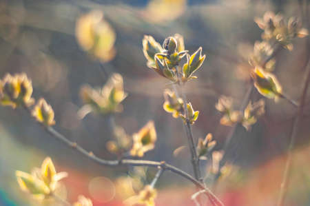 Branches buds and leaves of plum tree in early spring. Soft artistic color. 版權商用圖片