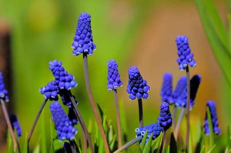 Young muscari flowers in the green garden 版權商用圖片