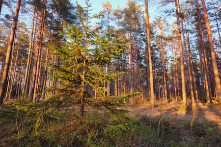 Fir tree surrounded by Pine forest in evening. Spring nature scene. Warm sunset light.