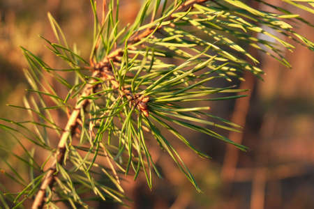 Pine branch with needles in soft warm evening light