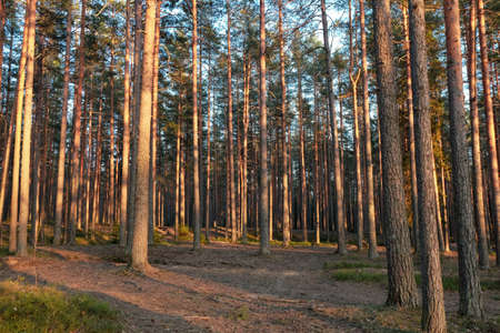 Pine forest in evening. Spring nature scene. Warm sunset light.