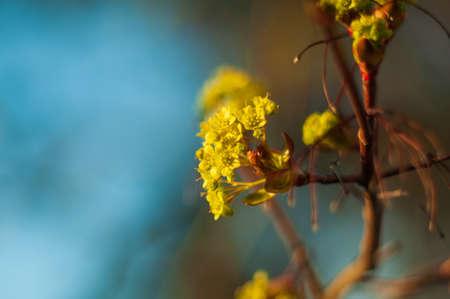 Blooming yellow flowers of maple trees in spring. 版權商用圖片