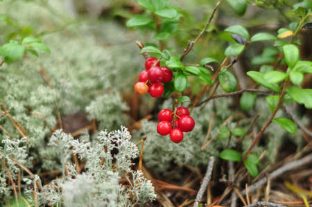 Wild Lingonberry and Reindeer moss in forest. Red cowberry in nature