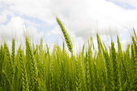 Green wheat, with cloudy and blue sky, close up Stock Photo