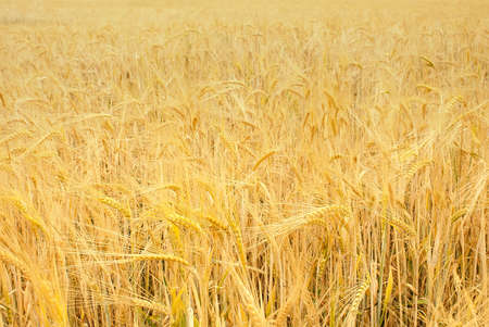 Golden wheat field; yellow grain ready for harvest growing in a farm field Stock Photo