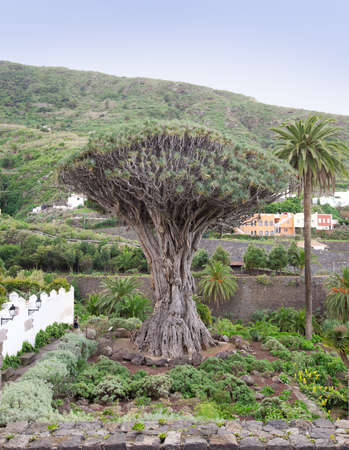 Dragon Tree at Icod de los Vinos, Tenrife, Spain Stock Photo - 15571070
