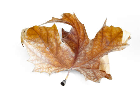 Autumn leaf, selective focus. Autumn maple leaf isolated on white background Stock Photo