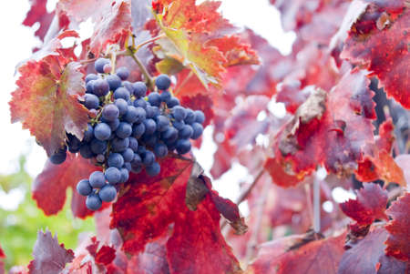 Vineyards in autumn harvest. Red varietal wine grapes on vine, ripe for harvest.