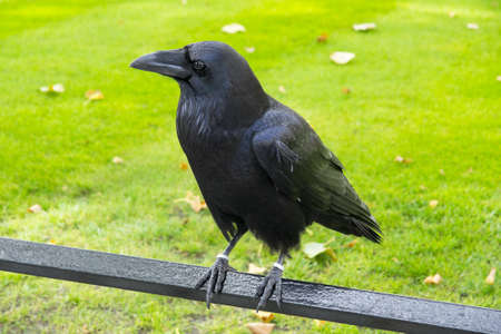 Common Raven perched in iron rail on green background Stock Photo