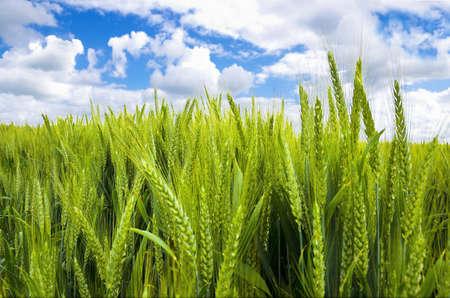 夏の畑と晴れた青空と青い空背景春小麦新鮮な夏の日光、緑の小麦畑をクローズ アップ