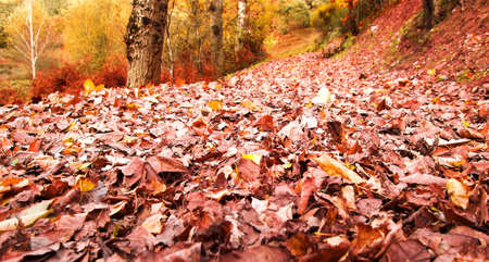 Colorful and bright autumn forest  Leaves turning red in Autumnal forest  Beautiful autumn forest in Las Medulas, Spain
