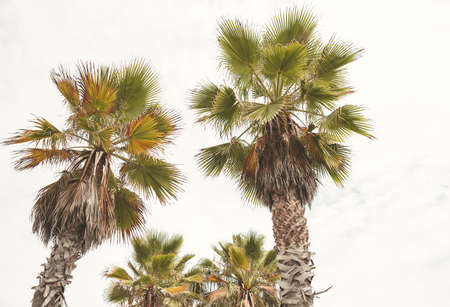 Amazing Palm tree in Beverly Hills, California - US Stock Photo