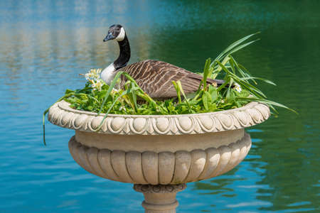 Canadian Goose nesting in decorative vase Stock Photo