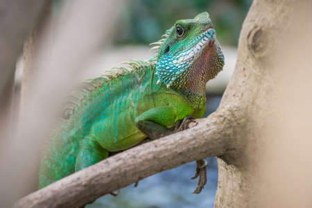 iguana: Colourful green Iguana on branch