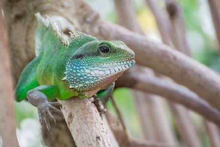 reptilia: Colourful green Iguana climbing on branch Stock Photo