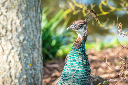 Understated beauty of female peahen