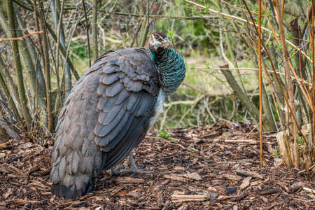 common peafowl: Understated beauty of female peafowl