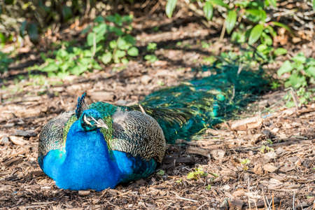 common peafowl: Peacock resting in the sunshine
