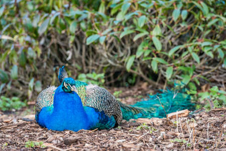common peafowl: Peacock sleeping