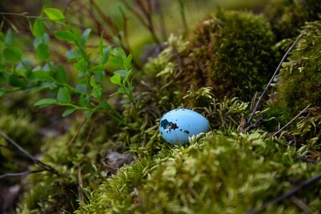 blue eggshell from a Blackbird's nest found in the forest