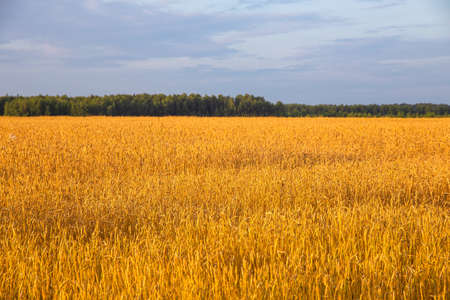 wheat field with ripe ears of corn on a background of blue sky with white clouds
