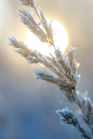 winter Sunny day, stems and branches of plants in a brilliant frosty frost, defocus light