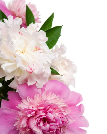 Pink and white peonies on the white background with space for text