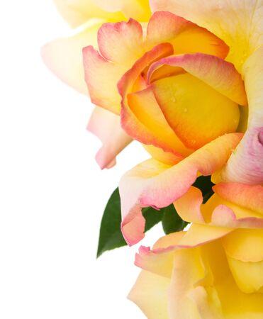 rosas amarillas: Las rosas amarillas sobre el fondo blanco. Aislado con espacio para texto. Foto de archivo