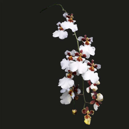 isolated on white background with purple orchids on black background Illustration
