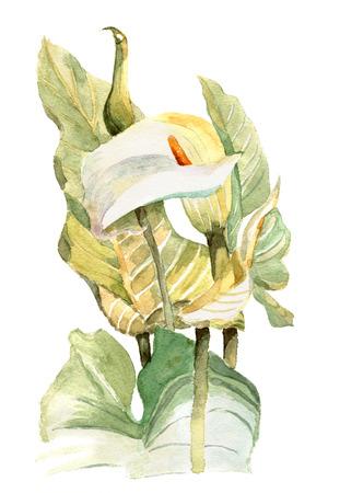 calas blancas: acuarela pintada a mano ilustración con calas en tono suave. Invitación. tarjeta de cumpleaños floral.