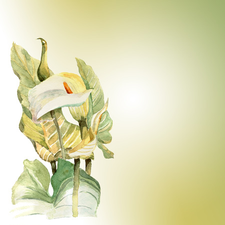 callas: Watercolor hand painted  illustration with callas  in gentle tone.  Invitation.  Floral birthday card. Stock Photo