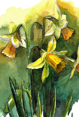 Watercolor hand painted illustration with yellow narcissus flowers