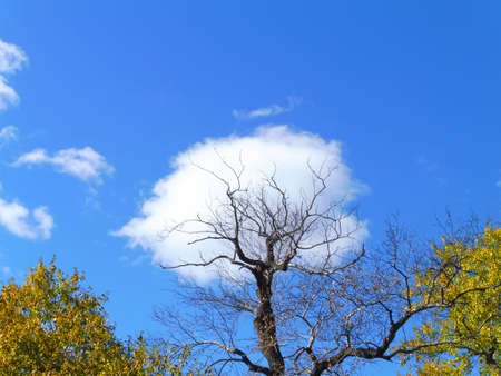 Autumn natural landscape. large tree with twisted branches, against blue sky with clouds.