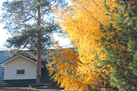 autumn yellowed larch branches and cottage village house roof, Autumn Background  , fall season concept