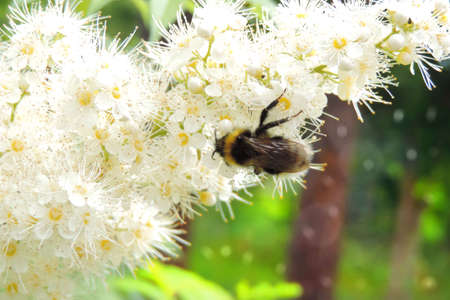Honey bee collecting pollen from a blooming tree
