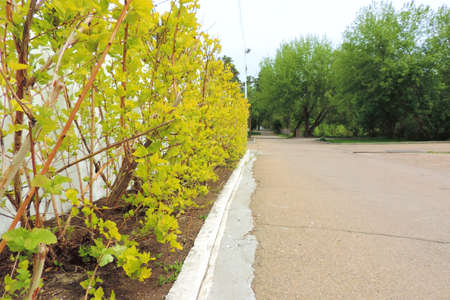 lawn shrub desert road white border, hedge
