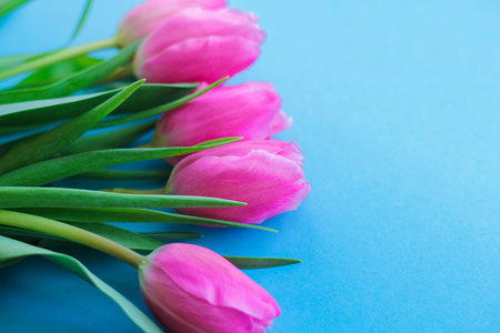 pink tulips on blue background.flowers as a gift