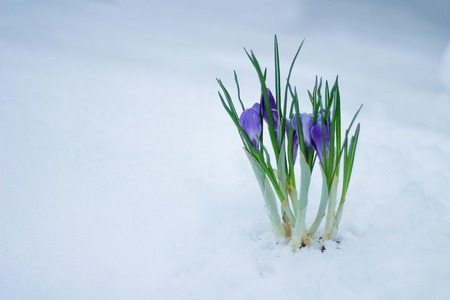 delicate spring flowers make their way from under the snow in winter.