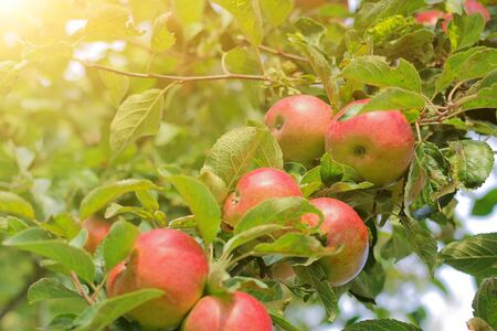 large ripe apples clusters hanging heap on a tree branch in an intense apple orchard. concept of harvest, healthy food and autumn mood Zdjęcie Seryjne
