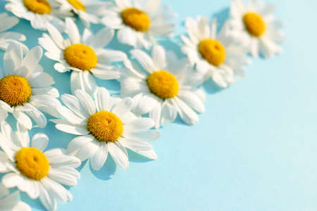 white chamomile on blue background. Beautiful Daisy pattern flowers template. spring and summer minimal concept