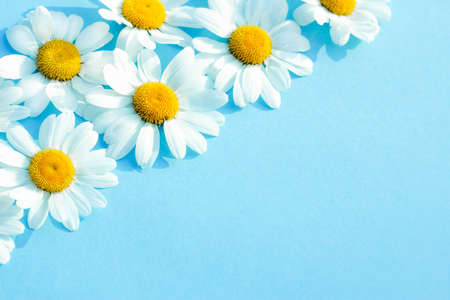 White camomiles on a blue background. Beautiful spring or summer composition, template for design with place for text