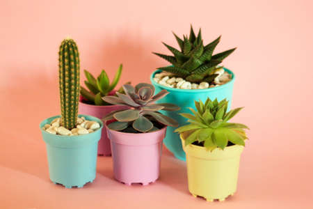 cacti and succulents on a pink background. home flowers