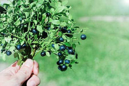 the blueberry Bush in the hand. wild berries harvest, organic antioxidant nutrition Zdjęcie Seryjne