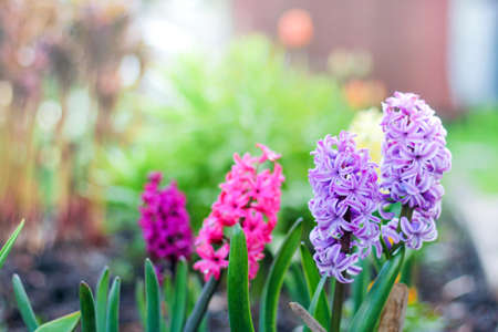flowerbed with colorful hyacinths, traditional Easter flowers, beautiful spring flower background. spring mood