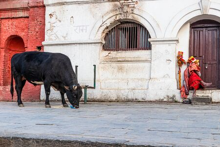 Pashupatinath, Kathmandu, Nepal, Asia - December 16,2019: Holy cow eats food from the ground next to holy man Sadhu in temple complex