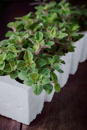 plantar: Fresh Oregano Herb Plant of. Oregano Seedling in Seedling Cups. Close up. Lizenzfreie Bilder