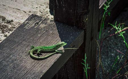 animal limb: European Green Lizard (Podarcis muralis), presumably Sand Lizard (Lacerta Agilis), Eastern Green Lizard (Lacerta viridis viridis) Stock Photo