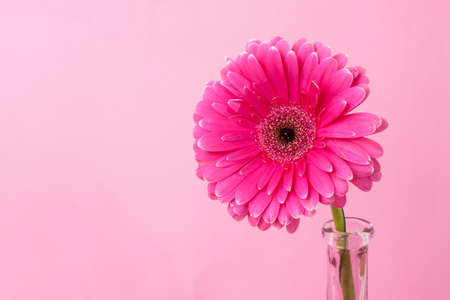 gynecology: Gerbera in a narrow glass vase on a pink background. The concept of femininity, womens health, gynecology