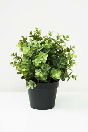 Green small shrub in a black pot isolated on white background