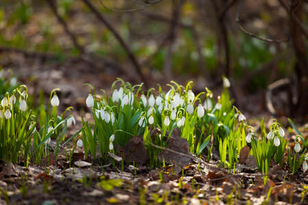 Snowdrops in spring on a Sunny meadow